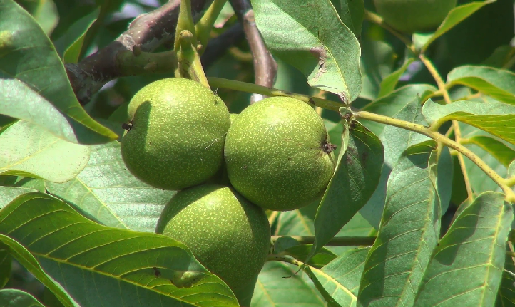 अखरोट की पत्तियां